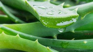 aloe vera for sciatica pain. sciatica pain natural home remedies