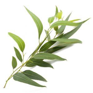 eucaliptus for sciatica pain. Sciatica pain natural home remedies